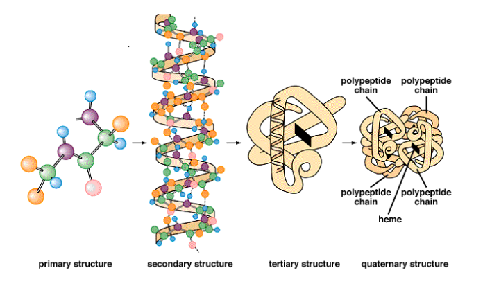 The Four Levels of Protein Structure.