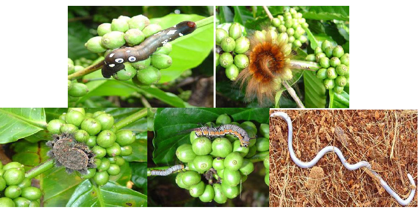 Fig3.Selection of coffee plantations affected with pests