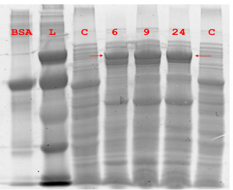 Figure 5.1 Expression of Pfu DNA Polymerase.