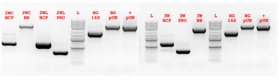 Figure 5.3 ex vivo PCR of 2-way and 3-way Fragments.