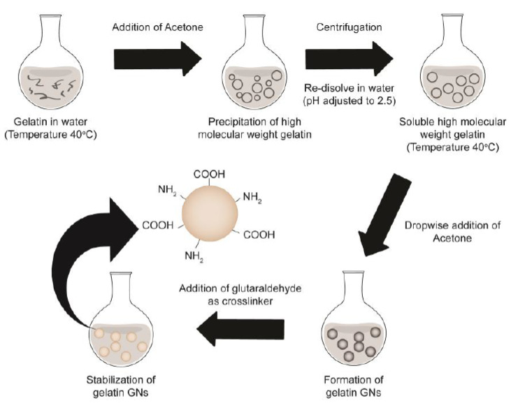 Figure 2-1. Two-step desolvation method of gelatin nanosphere (GNs) synthesis. Stabilization of GNs was achieved by crosslinking with glutaraldehyde.