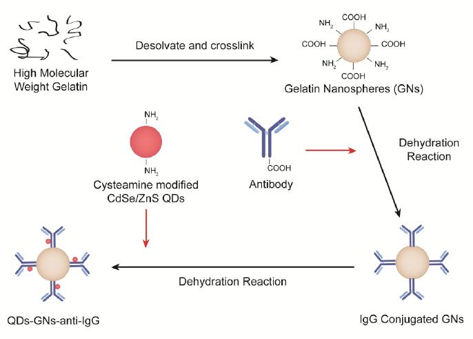 Figure 2-3. Functionalization scheme of Gelatin Nanospheres.